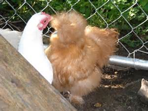 Be/best Breed Of Chicken For Eggs And Meat » Ideas Home Design