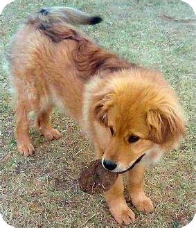 golden retriever colorado springs adopted colorado springs co golden retriever great pyrenees mix