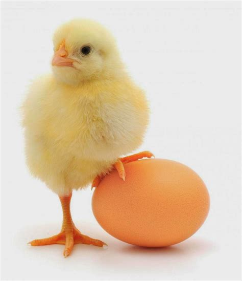 Small Chicken by The Australian Small Business Blog Marketing Or Systems