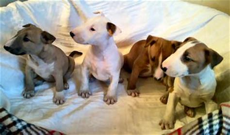 mini bull terrier puppies for sale petweb dogs and puppies with new homes