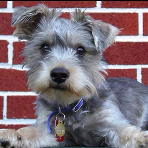 how do yorkies mate schnauzer yorkie mix if it were possible for my two dogs to mate it would