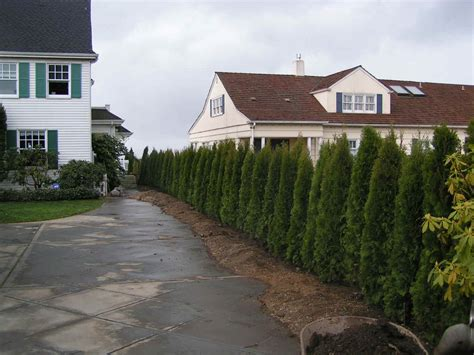 decorating wonderful emerald green arborvitae  garden