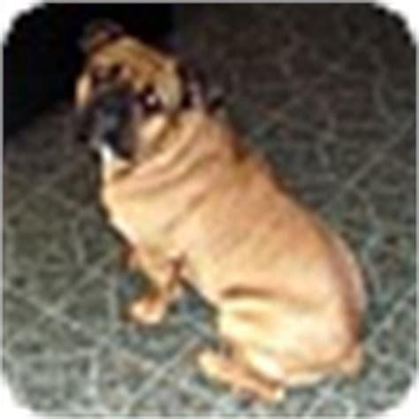 pug rescue columbus ohio max adopted columbus oh bullmastiff pug mix