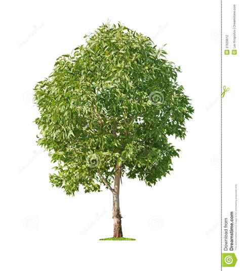 whit tree tree on white background stock photography image 27629612