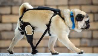 harness for pugs pug who s learning to walk again after he was fitted with a prosthetic daily mail