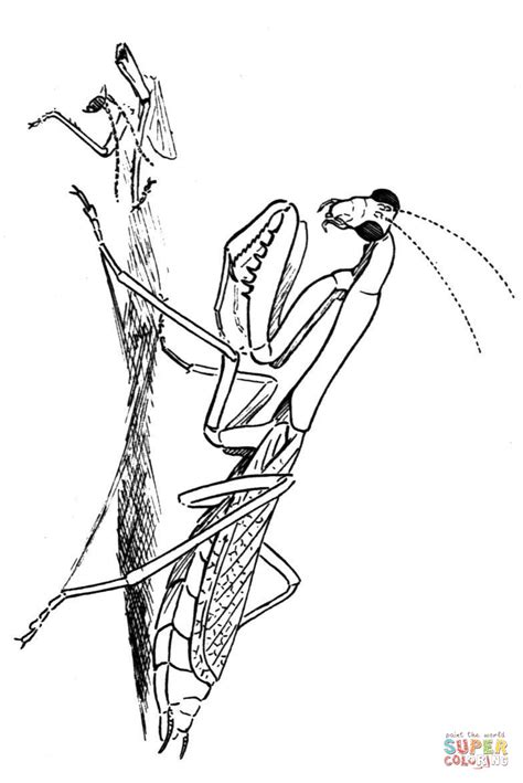carolina praying mantis coloring page free printable