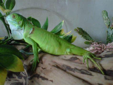 Jual Iguana Baby Kaskus baby green iguana ajib kaskus the largest
