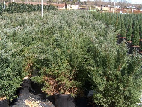 Juniperus Chinensis Blue Vase by Plant Guide Juniperus Chinensis Blue Vase