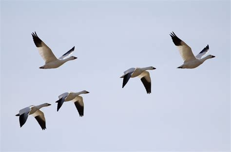snow goose migration spectacle at middle creek wma my