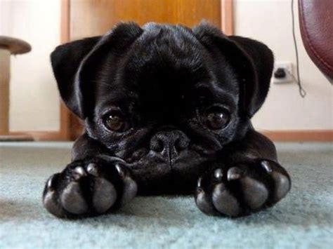 pug paws pug paws pugs pugs pugs pugs 2