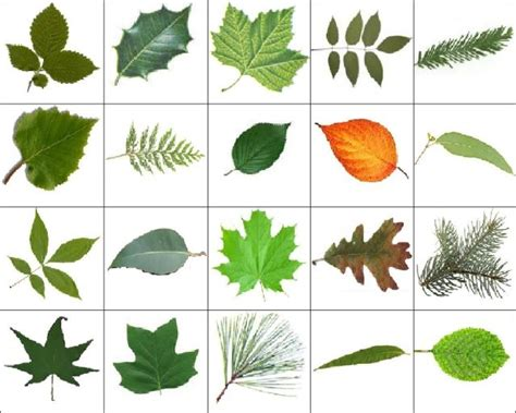 types of trees images reverse search images of leafs and their names theleaf co