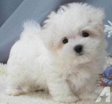 puppies for sale in island teacup and maltipoo puppies for sale on island new york breeds picture