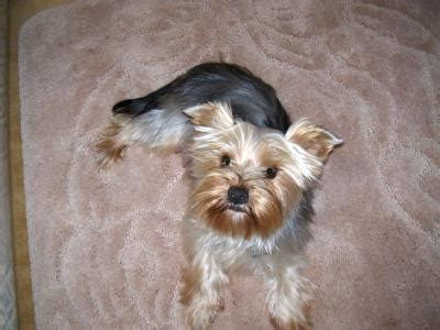 types of yorkie haircuts yorkie types of haircuts hairstyle gallery