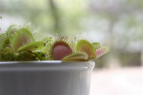 free venus fly trap stock photo freeimages com