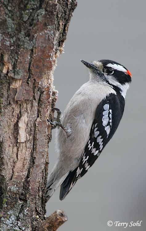 downy woodpecker in the yard pinterest