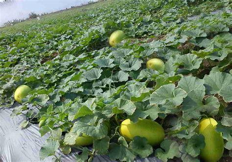 Jual Bibit Timun Suri Bogor 12 tips cara budidaya menanam timun suri agar buah lebat
