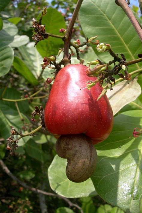 what is the fruit of the tree of plant world plant world cashew nut