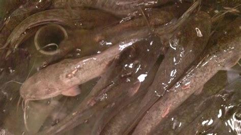 Pakan Ikan Lele Ukuran 5 Cm budidaya ikan lele lengkap pembenihan pilihan kolam hama