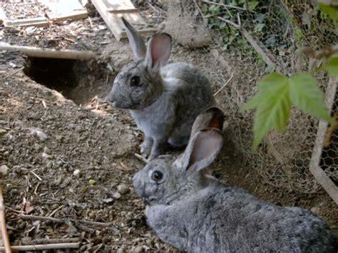 allevare conigli in gabbia allevare bio 1 171 conigli conigli