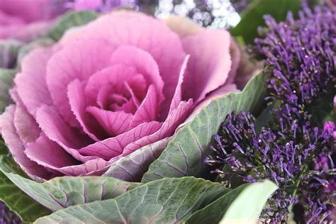 ornamental cabbage buy how to grow ornamental cabbage and flowering kale