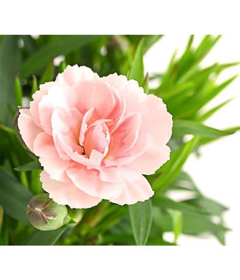Nelken Garten Pflanzen by Garten Nelke Land Nelke Dehner