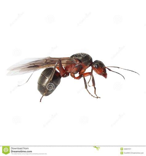 imagenes de hormigas rojas hormiga de alas rojas aislada en blanco imagen de archivo