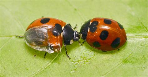how to find ladybugs in your backyard where to find ladybugs in your backyard 28 images