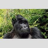 Mountain Gorilla Habitat   356 x 220 jpeg 31kB