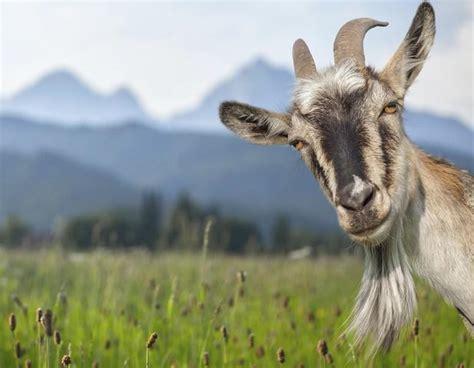 de cabras 191 es negocio la cr 237 a de cabras comadsa