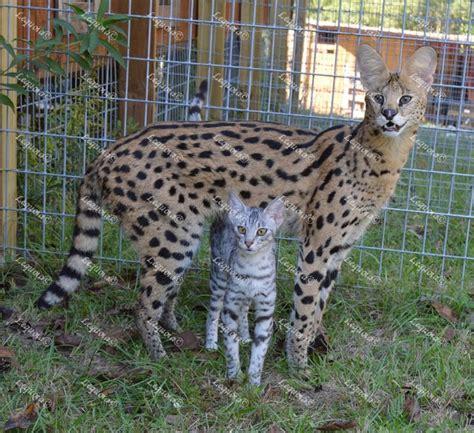 savannah kittens for sale about savannahs savannah 76 best savannah cats images on pinterest