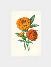 marigold vintage botanical print flower book plate
