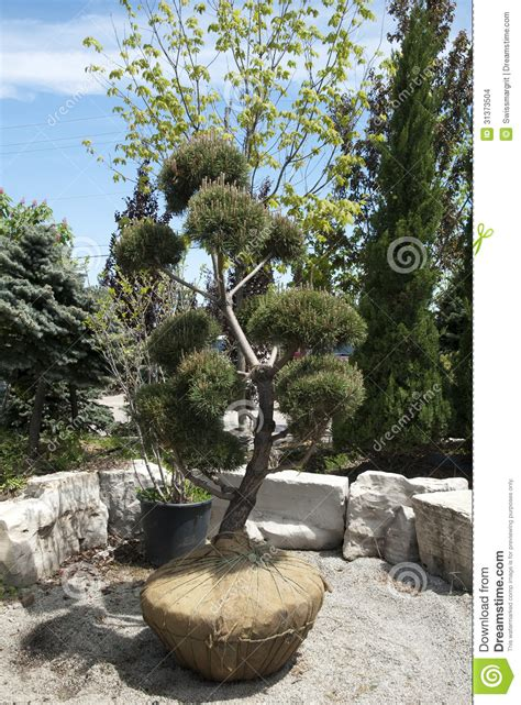 sculptured pine tree stock images image 31373504