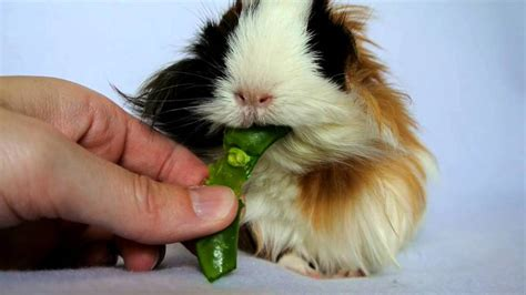 can dogs eat prunes can guinea pigs eat peas tips