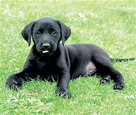 when do lab puppies stop biting how can i my gundog puppy to stop biting shooting uk