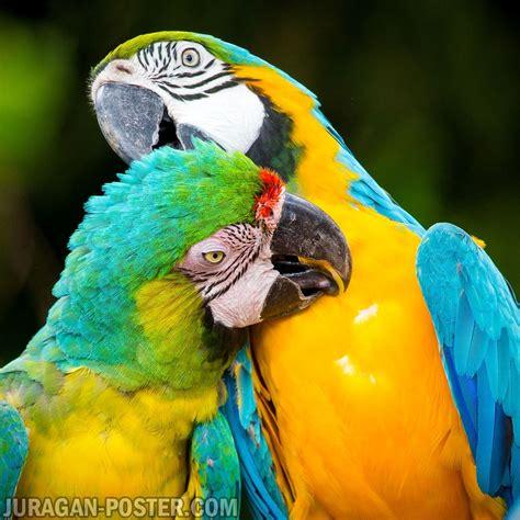 parrot jual poster  juragan poster
