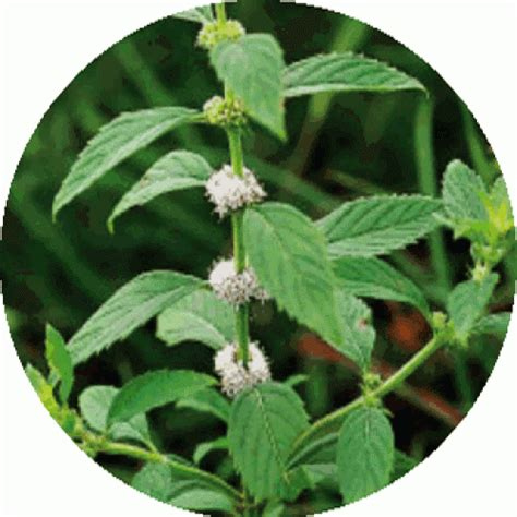 peppermint arvensis corn mint essential mentha arvensis