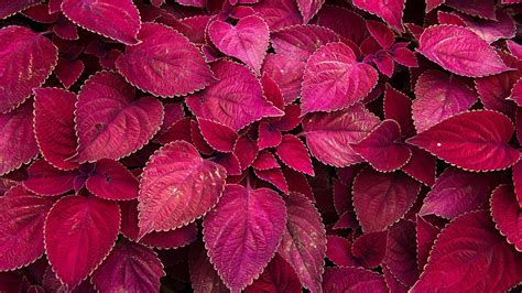 purple foliage plants plants purple leaves new hd wallpapers