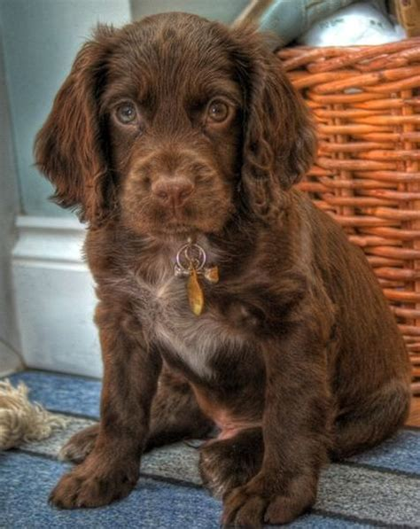 how much are cocker spaniel puppies and pretty brown cocker spaniel puppy jpg