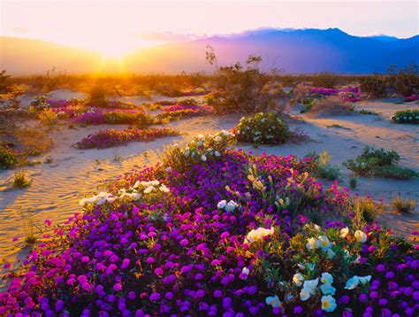 desert flower desert flowers erupt in california super bloom petal talk