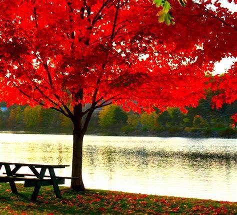 aceri da giardino acero rosso piante da giardino caratteristiche dell