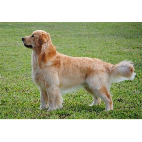 golden retriever puppies virginia autumn lake golden retrievers golden retriever breeder in chesapeake virginia 23322