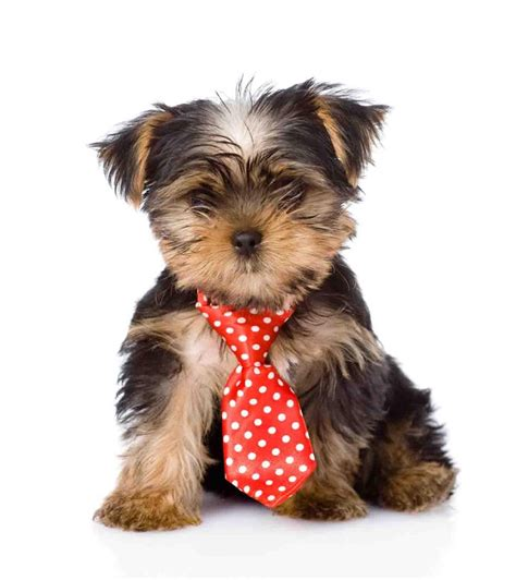 how many puppies can a yorkie yorkie puppy wallpaper android apps on play