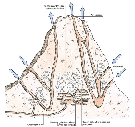 Well Labelled Diagram Of A Winged Termite termites credo reference