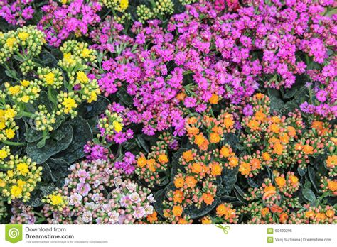colorful flowers picture orange flowers in bloom light colorful kalanchoe flowers background stock photo