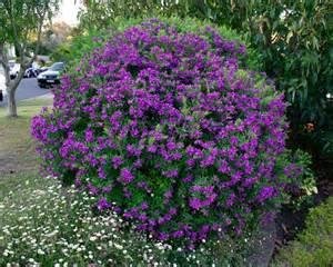 Flower Garden Plants Gardensonline Polygala Grandiflora