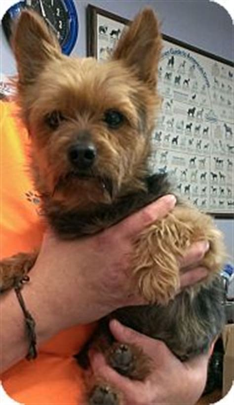 yorkie rescue in illinois il yorkie terrier mix meet york a for adoption