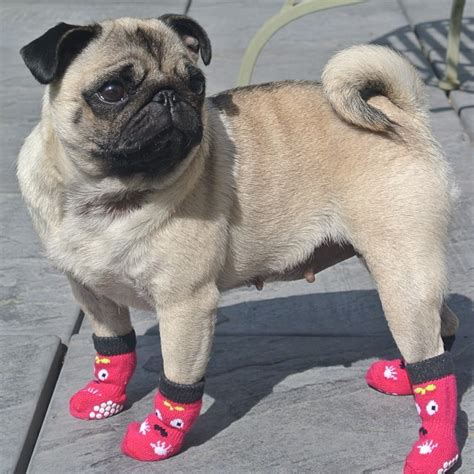 boots for pugs part 7 the laziest breeds look at these potatoes they are for