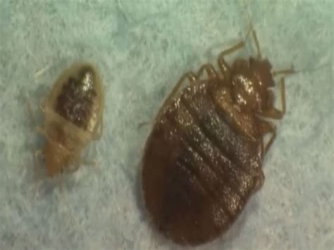 bed bugs in schools home www wthitv com