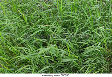 Couch Grass Stock Photos Couch Grass Stock Images Alamy