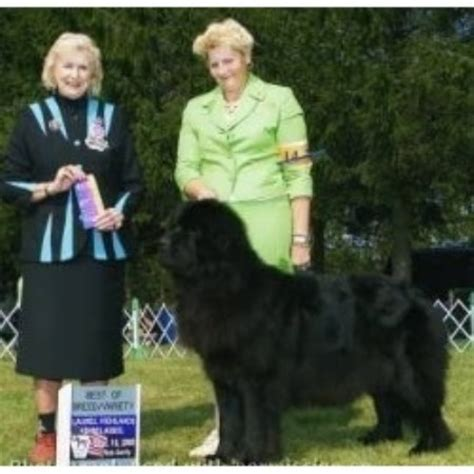 newfoundland puppies in pa newfoundland breeder new kensington 12037 breeds picture